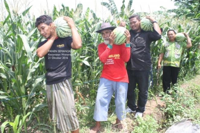 Budidaya Semangka Varietas Amor & Riendu - Kecamatan Wonorejo