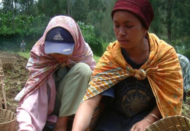 Pengembangan Kentang Varietas Granola Kembang - Kecamatan Tosari
