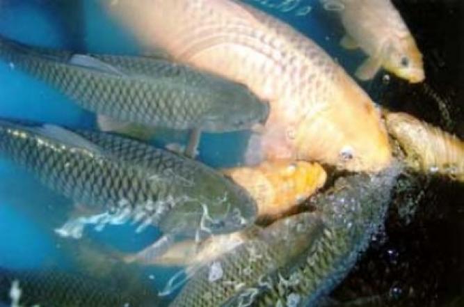 Budidaya Ikan Air Tawar - Kecamatan Grati