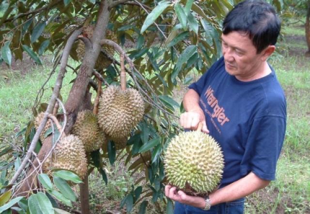 Petik Durian Masak Pohon