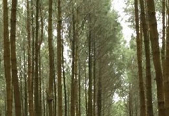Hutan Pinus - Kecamatan Tutur
